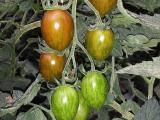 Pomodoro Tigrato - La Natura In Tavola